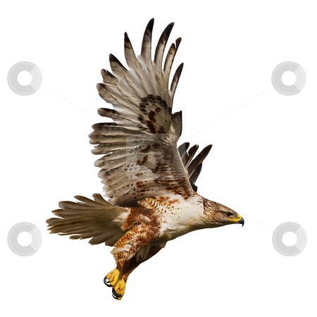 Isolated hawk in flight stock photo, Large Hawk in flight isolated on a white background by Steve Mcsweeny
