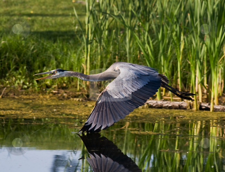 Blue heron in flight stock photo, A great blue heron in flight with wing tips hitting the water by Steve Mcsweeny