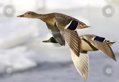 Ducks in flight stock photo, A pair of mallard ducks in flight by Steve Mcsweeny