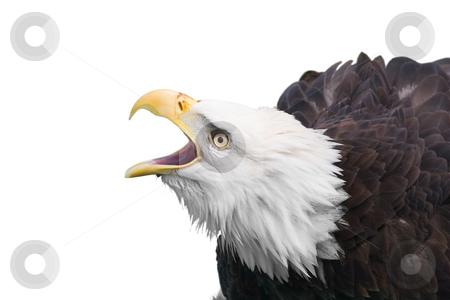 Bald eagle calling stock photo, Isolated bald eagle by Steve Mcsweeny