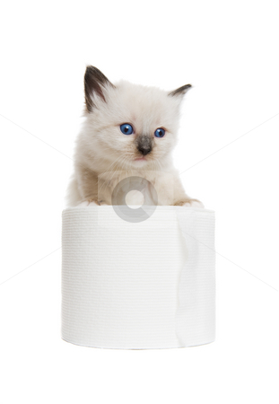 Kitten play stock photo, A purebred Siamese kitten playing with a roll of toilet paper by Steve Mcsweeny