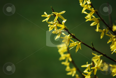 Laburnum stock photo, Detail of a laburnum branch in the spring by Sarka