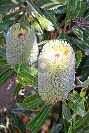 Australian Native Banksia Plant stock photo, 2 x Australian native wildflower Banksia Conferta Penicillata in full bloom. by Adam Goss