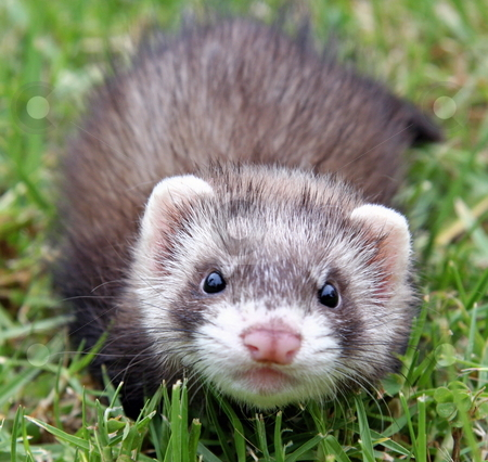Ferret Face stock photo, A six week old chocolate sable female ferret kit out exploring in the grass. by Adam Goss