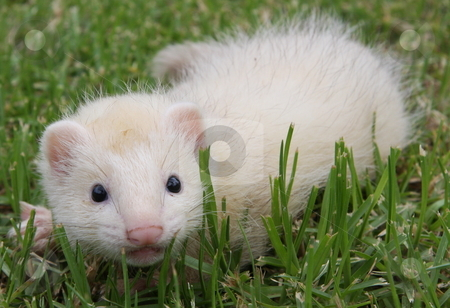 Curious Ferret Kit stock photo, A six week old sterling silver male ferret kit out exploring in the grass. by Adam Goss