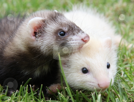 Ferret Friends stock photo, A pair of six week old ferret kits out plying on the grass. by Adam Goss