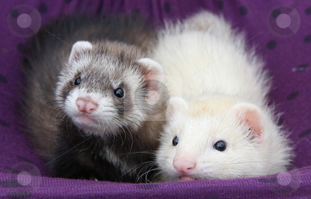 Ferret Friends stock photo, A pair of six week old ferrets laying together in a purple hammock. by Adam Goss