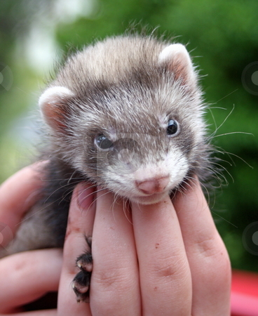 Ferret Face stock photo, A six week old mitted sable ferret kit supported in the hands of its owner. by Adam Goss