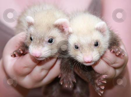 Siamese Twins stock photo, A pair of six week old siamese sable (aka butterscotch) colored ferret kits, being held by their owner. by Adam Goss