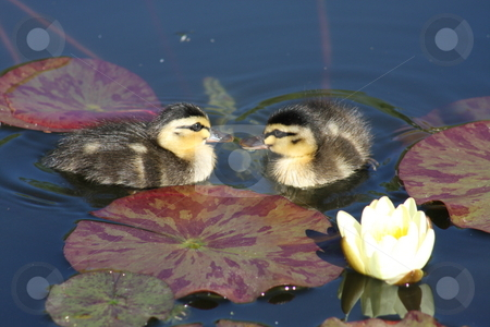 Pond siblings. stock photo, A pair of recently hatched wild ducklings exploring their new watery habitat. by Adam Goss