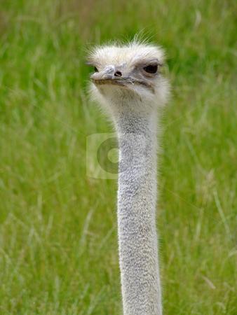 Nandu stock photo, Ostrich Nandou (Rhea Americana), headshot with natural background by Birgit Reitz-Hofmann
