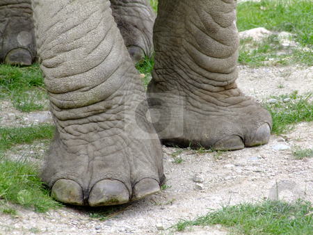 Elephant legs stock photo, Elephant legs in detail on natural background by Birgit Reitz-Hofmann