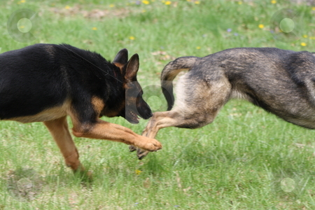 German Shepherd stock photo, German shepherds playing in the grass. by Chris Torres