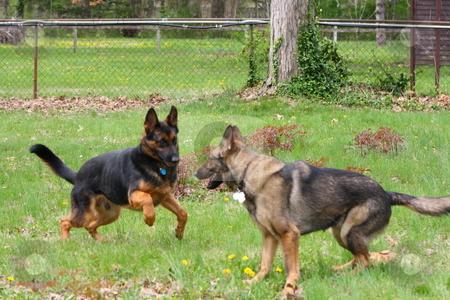 German Shepherd stock photo, German shepherds playing in the grass. by Chris Torres
