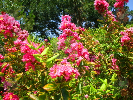 Pink Crepe Myrtle Flowers stock photo,  by Michael Felix