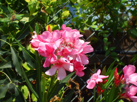 Pink Oleander Flowers stock photo,  by Michael Felix