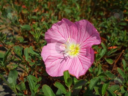 Pink Poppy Flowers stock photo,  by Michael Felix