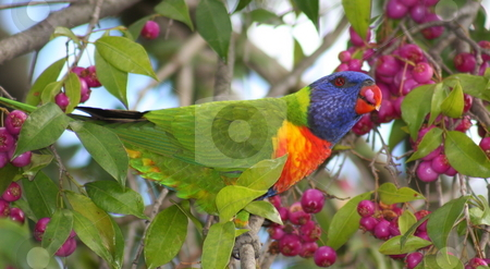 Colorful  stock photo, An Australian native rainbow lorikeet perched in a Lilli Pilli tree and set to enjoy a feed of berries. by Adam Goss