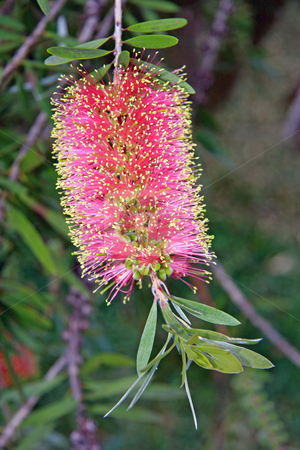 The Bottlebrush shrub stock photo, The Australian native Callistemon shrub, better known as the 'bottlebrush' shrub. by Adam Goss