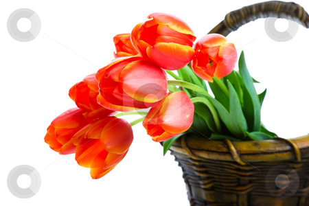 Basket of Tulips stock photo, Fresh cut tulips hanging out of a garden basket.  Shot on white background. by Brenda Carson