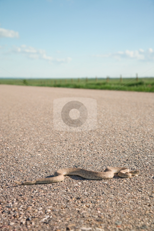 Prairie Rattler stock photo, An 8 year-old prairie rattlesnake crossing a highway.  Shallow depth of field. by Brenda Carson