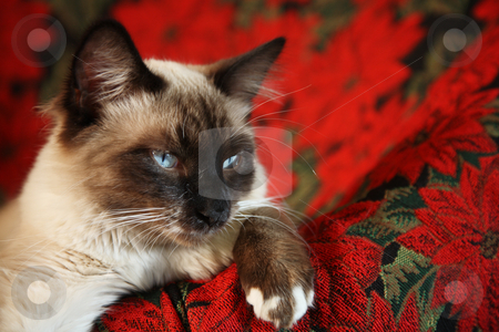 Poof-in-Boots stock photo, Eight month-old, male, Snowshoe Lynx Point Ragdoll Siamese on red poinsettia tapestry chair. by Brenda Carson