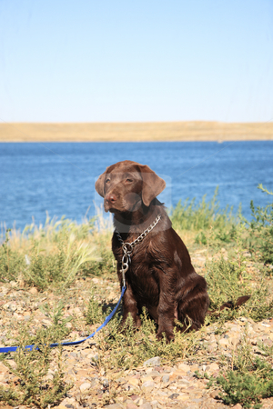 Lab at the Lake stock photo, Female purebred Chocolate Lab puppy on leash beside lake.  Three months old. by Brenda Carson