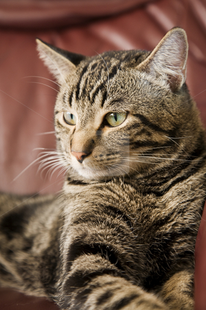Majestic Male Tabby stock photo, A male tabby cat laying on a leather chair.  Shallow DOF. by Brenda Carson