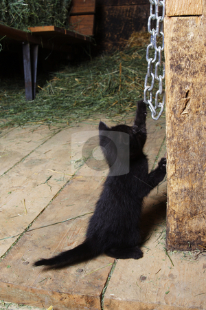 Playful Farm Kitten stock photo, A pkayful farm kitten playing in the barn. by Brenda Carson