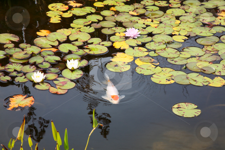 Koi Pond stock photo, A large koi swimming just below the surface of a lily pad covered fish pond. by Brenda Carson