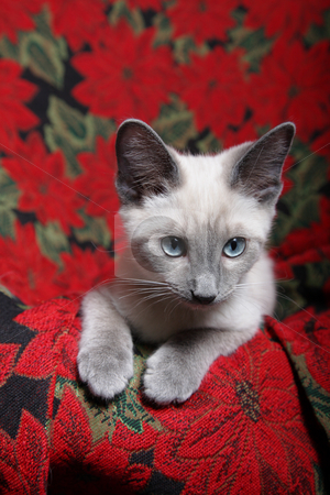 Christmas Kitten stock photo, Small, lilac point siamese kitten on red poinsettia tapestry chair. by Brenda Carson