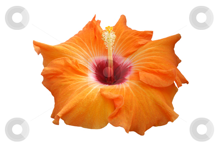 Hibiscus Isabella stock photo, Tropical hibiscus hybrid:  Isabella.  Giant blooms of orange with a blood red throat.  Isolated. by Brenda Carson