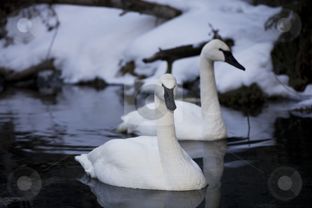 Trumpeter Swans stock photo, Two beautiful Trumpeter Swans floating in open water on a winter's day.  Trumpeter Swans are a protected species. by Brenda Carson