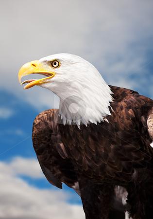 Bald Eagle stock photo, A Bald Eagle against a cloudy sky. by Brenda Carson