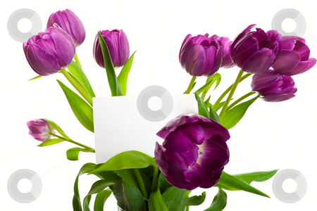 Bouquet With Card stock photo, A bouquet of purple tulips with blank card.  Shot on white background. by Brenda Carson
