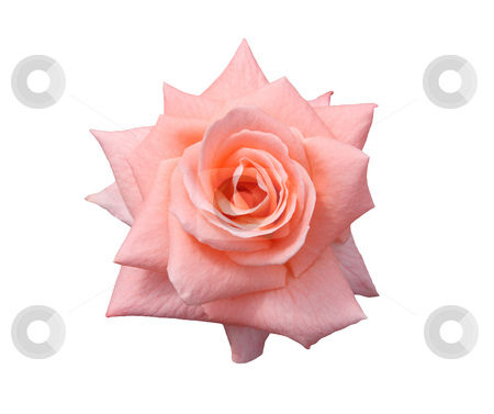 Lady Di Rose Isolated stock photo, Beautiful pink, Lady Di grandiflora hybrid rose blossom. Isolated on white. by Brenda Carson