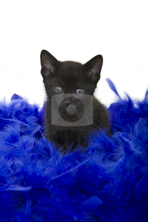 Puss in Poof stock photo, Fuzzy black kitten sitting in a blue boa.  5 weeks old. by Brenda Carson