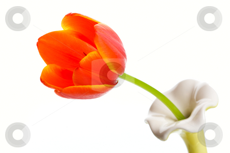 Single Orange Tulip stock photo, A single orange tulip in a single stem vase.  Shot on white background. by Brenda Carson