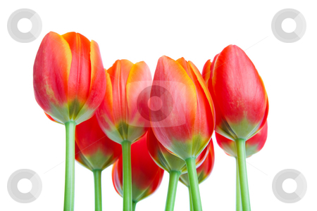 Tall Tulips stock photo, Looking up at a bouquet of fresh orange & yellow spring tulips.  Shot on white background. by Brenda Carson