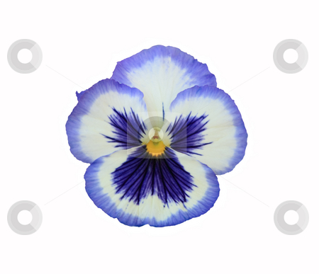 Blue Frost stock photo, Hybrid Pansy:  Blue Frost.   White with blue face and edge.  Isolated on white. by Brenda Carson