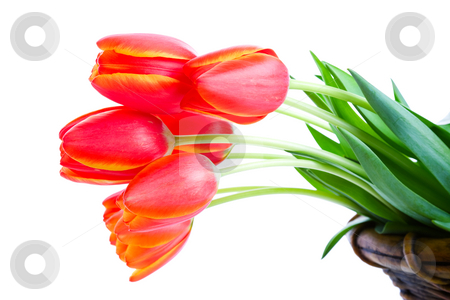 Tulips in Basket stock photo, Fresh cut tulips hanging out of a garden basket.  Shot on white background. by Brenda Carson