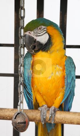 Scruffy Macaw stock photo, A slightly scruffy, blue & yellow macaw in captivity. by Brenda Carson