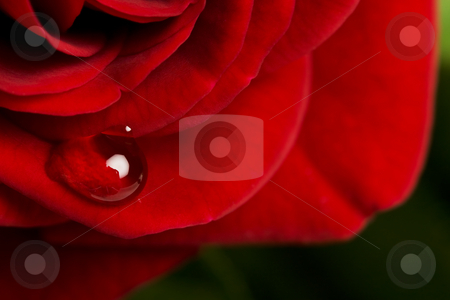 Rose Drop stock photo, A drop of dew on a miniature red, tea rose. by Brenda Carson