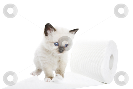 Kitten Soft stock photo, A purebred, Snowshoe Lynx-Point Siamese kitten playing with the toilet paper.  Shot against white background. by Brenda Carson