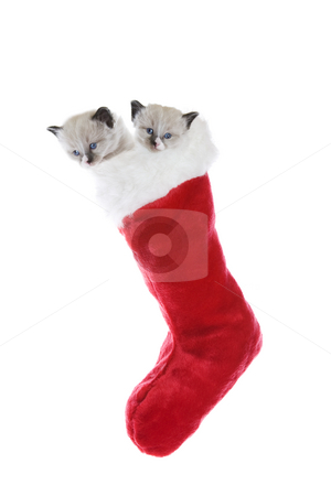 Kittens In A Sock stock photo, Two purebred, Snowshoe Lynx-point Siamese kittens in a Christmas stocking. by Brenda Carson