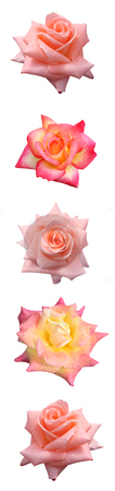 Vertical Rose Bar stock photo, Isolated vertical bar of pink & yellow shades of roses.  For use as a divider, bar, line, or decorative edge. by Brenda Carson