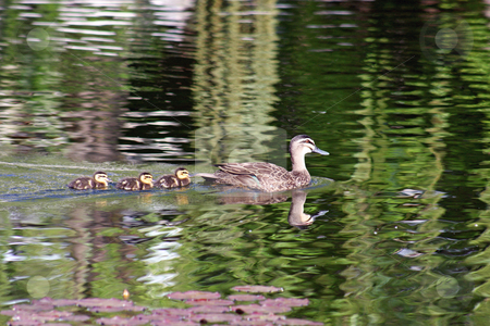 Follow The Leader stock photo, A wild brown mother duck proudly displays her chicks, as they all swim together. by Adam Goss