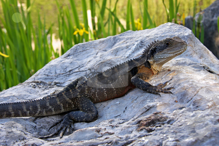 Dragon on a rock. stock photo, A mature Australian Bearded Dragon LIzard surveys his immediate surrounds whilst sprawled out on a large rock. by Adam Goss