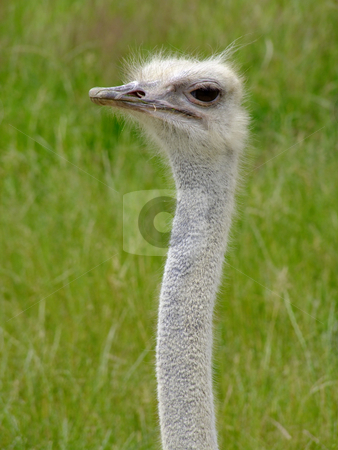 Nandu stock photo, Ostrich Nandou (Rhea Americana), headshot with natural background by Birgit Reitz-Hofmann