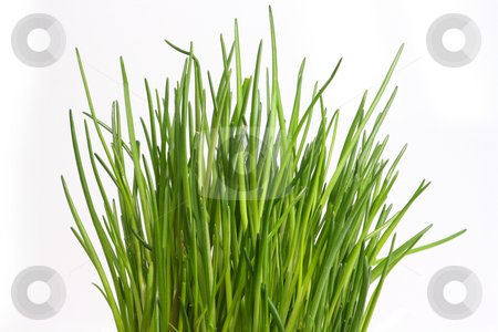 Fresh chive stock photo, Fresh chive on bright background by Birgit Reitz-Hofmann